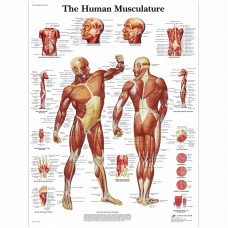 Human Muscle Chart- 3B SCIENTIFIC