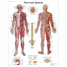 Nervous System Chart - 3B SCIENTIFIC