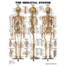 THE SKELETAL SYSTEM LAMINATED - ACC 8943