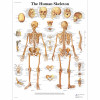 Human Skeleton Chart-3B SCIENTIFIC