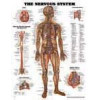 The Nervous System laminated  - ACC- 8949
